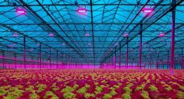 'LED lighting has improved the quality of our lettuce and reduced plant loss'
