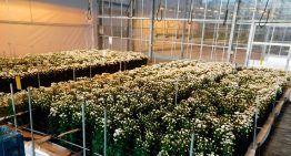 Hydroponically grown chrysanthemum trial successful for fourth time in a row