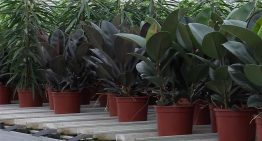 Ficus grower experiments with sustainable pot made from fungus