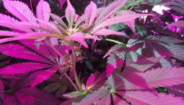 Medicinal cannabis grows well under LED lighting