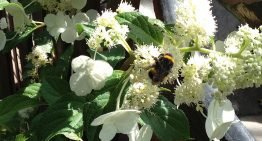 Bees and bumblebees useful for crop protection as well as pollinating