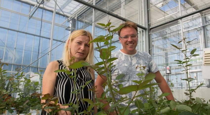 Feeding predatory mites pollen is useful weapon in battle against thrips