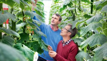 Good cucumber yields in innovative Winterlight greenhouse