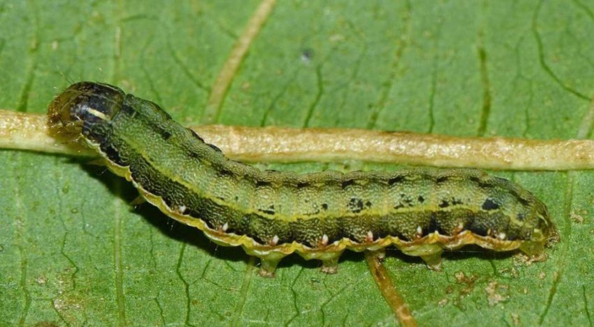 Tomato spurs caterpillars to cannibalism
