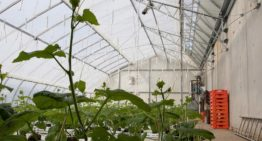 Good start to cucumber cultivation in Chinese Solar Greenhouse