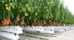 Strong tomato crop with less gas in 2SaveEnergy greenhouse