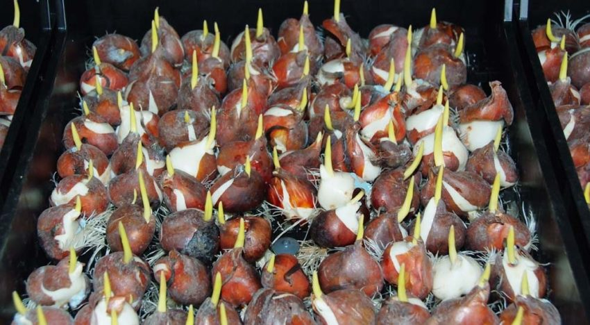 Plant growth promoting rhizobacteria in bulb production