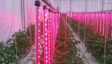 Vertical interlighting for high-wire crops
