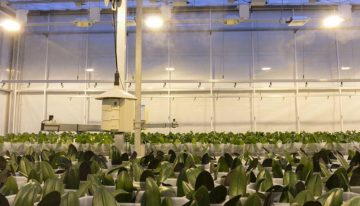 Limits of dimming lights in phalaenopsis reached