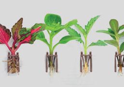 Basewell rooting technology by Dümmen Orange