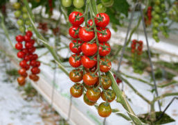 Fertliser from waste flows for tomatoes