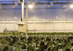 In the Ter Laak Orchids trial greenhouses, the researchers compare the quality of the varieties Sacramento, Donau, Jewel and Las Palmas grown with standard lighting and a dimming treatment.