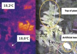 A thermal camera took an image of the tomato crop every ten minutes over a six-week period.
